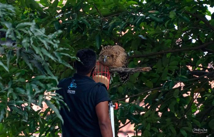 wild animals in singapore - a man from ACRES rescuing an injured wild owl