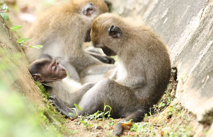 wild animals in singapore - the macaque monkey