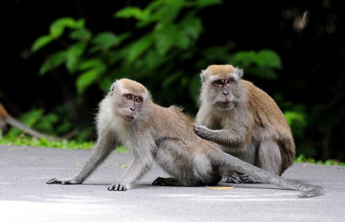 Singapore wildlife includes long tailed macaque monkeys