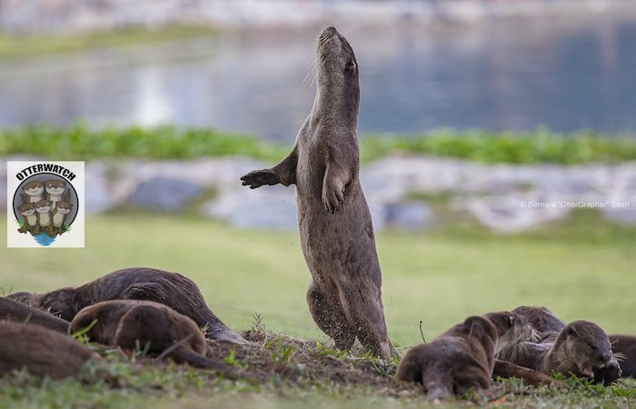 Smooth-coated otters, much loved members of SIngapore Wildlife
