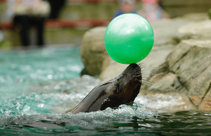 sealion with ball at SIngapore Zoo